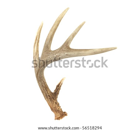 An angled view of a whitetail deer antler isolated on white - stock photo