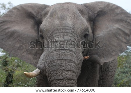 An angry African bull elephant with his ears flapping