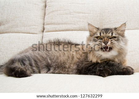 An angry cat lying on sofa