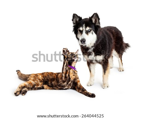 An angry large Alaskan Malamute mixed breed dog scowling at a cat that is batting his paw at him - stock photo
