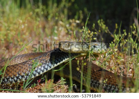 An angry Montpellier snake ready to strike in the grass. - stock photo