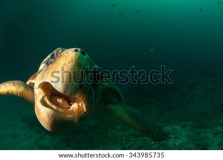 An angry turtle bites at the camera underwater - stock photo