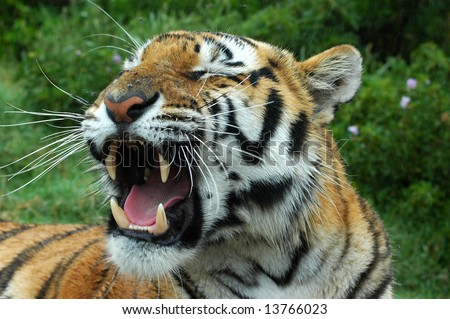 An angry yawning tiger showing his dangerous teeth in a game park - stock photo