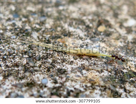 An ant pulling big weight - stock photo