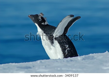 An Antarctic adelie penguin that spreads its wings and seems trying to fly. In background the blue ice ocean, in the foreground snow. Picture taken near Atka Bay during a 3-month research expedition. - stock photo