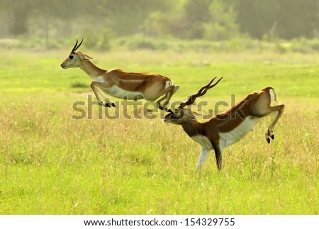 An antelope accident - stock photo
