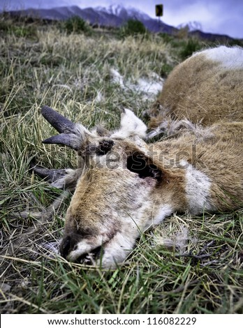 An antelope lies dead by a roadside in Eagle Mountain, Utah - stock photo