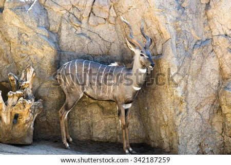 An antelope rest in a shaded area, keeping a distance from the sunshine.  - stock photo