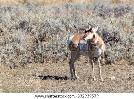 An antelope with atypical horns in Yellowstone National Park. - stock photo
