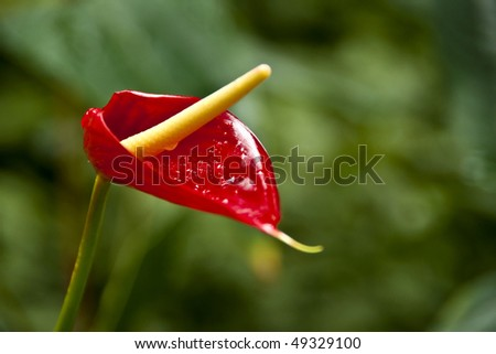An Anthurium flower, also called the Flamingo flower. - stock photo