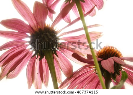 An ants view of Echinacea flowers while in full bloom during the sunshine of the day.