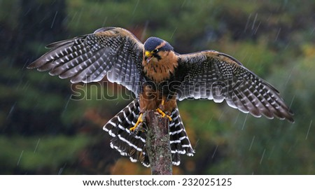 An Aplomado Falcon (Falco femoralis) with wings spread as it lands on a post in the rain.  - stock photo