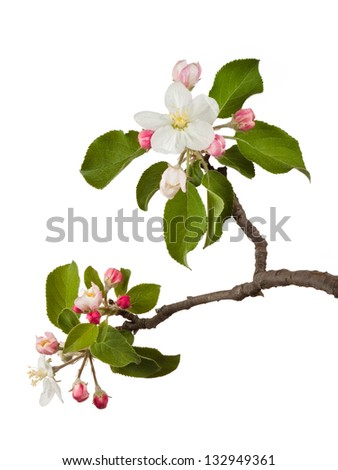 An apple blossom explodes open. The delicate white petals surround yellow pistils. Other pink blossoms wait their turn to bloom. Green leaves of the tree frame the blooms. On a white background. - stock photo
