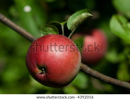 an apple on a branch - stock photo