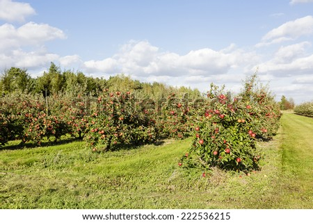 An apple orchard at sunny summer day - stock photo