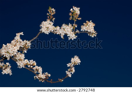 An apple tree branch with flowers against a background of deep blue sky. Shot in Larkspur, Bay Area, California. - stock photo