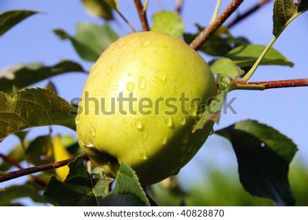 An apple with rain drops at a tree