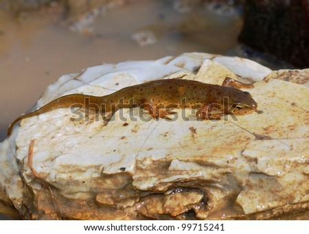 An aquatic Central Newt (salamander), Notophthalmus viridens louisianensis on a rock next to a pond - stock photo