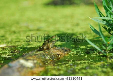 An aquatic green frog sits alone on a log with duck weed in a Missouri bog. - stock photo