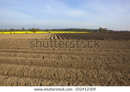 an arable landscape with pattern and texture of potato rows and yellow canola flowers under a hazy early morning sky - stock photo