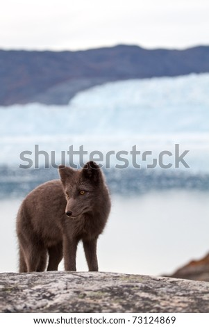 An arctic Fox in front of the famous Eqi glacier in Greenland - stock photo