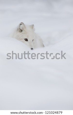 An Arctic Fox in its winter coat listens for the movement of a potetial meal under the snow. - stock photo