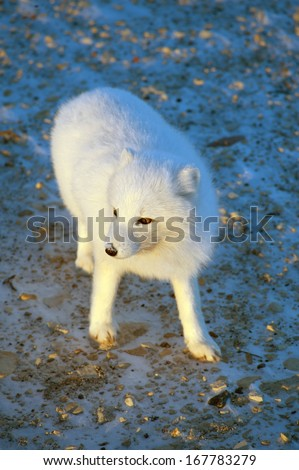 An arctic fox searches for food in the snow near Churchill, Manitoba