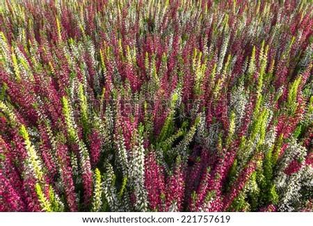 An areal with colorful bud heather - calluna vulgaris - blooming in red, pink, yellow, white, green.  - stock photo
