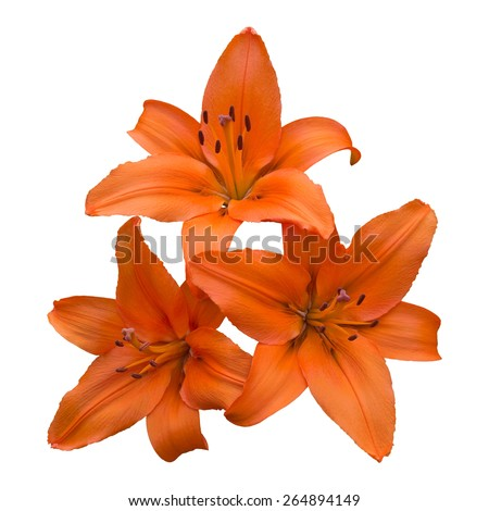 An arrangement of three vibrant orange asiatic lily flowers, isolated on a pure white background. - stock photo
