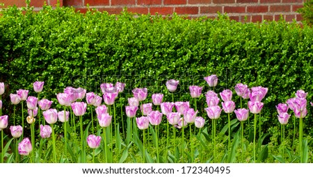 An array of pink or light purple tulips growing in front of a hedge - stock photo