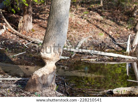 An ash tree almost cut down by a beaver.