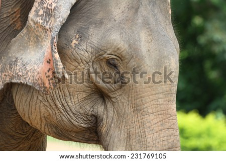 An Asian elephant at The Elephant Village which is a sanctuary for elephants in Luang Prabang, Laos. - stock photo