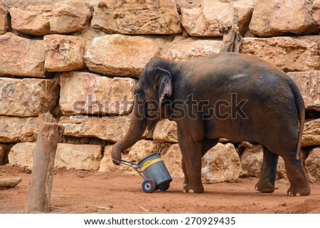 An Asian Elephant in zoo,dragging a bucket - stock photo