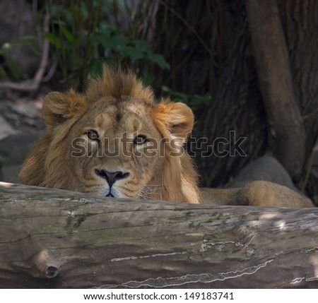 An Asian lion, lying behind the fallen tree. Ambush of the King of beasts. Stare of one of the most dangerous and beautiful beasts. - stock photo