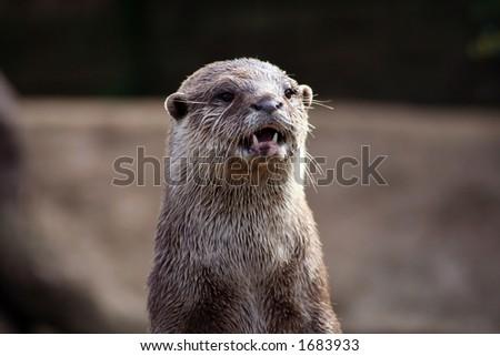 An Asian short-clawed otter keeps watch - stock photo
