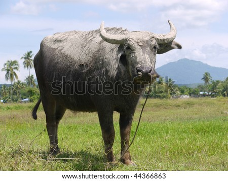 An Asian water buffalo in a pasture. - stock photo