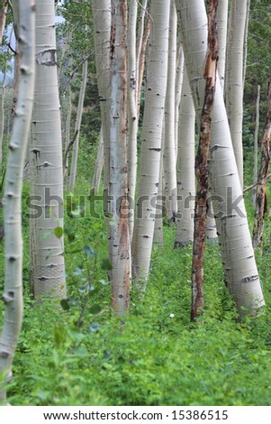 An aspen grove near Aspen, Colorado.