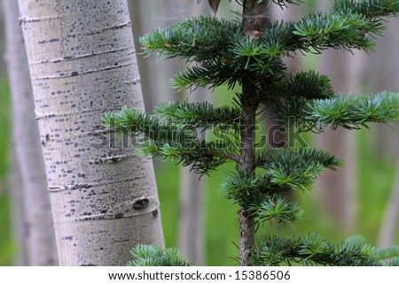 An aspen trunk and a few branches of a fir sapling.