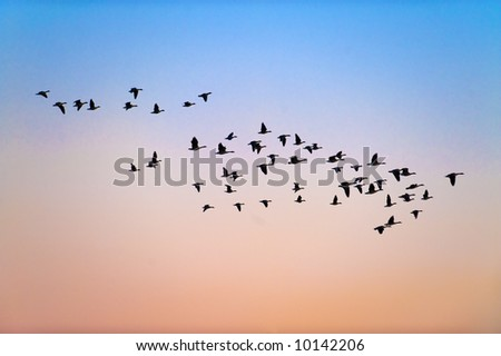 An assortment of geese and waterfowl are silhouetted against the evening sky.