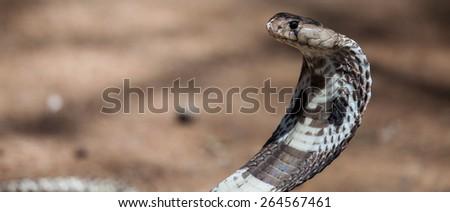 an attacking cobra - stock photo