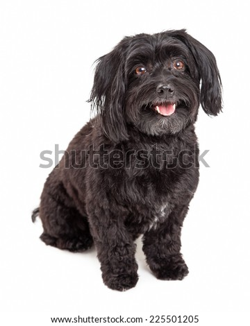 An attentive and well trained Havanese Dog sitting and looking forward with mouth open.