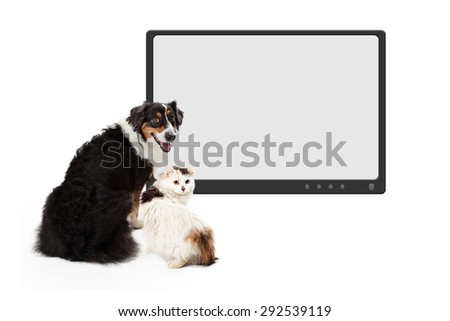 An attentive Australian Shepherd Dog looks over its shoulder.  The dog has its back to the camera while looking into the camera.  - stock photo