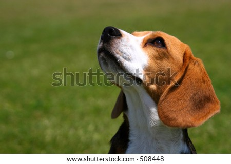 An attentive beagle looks up at his master. - stock photo
