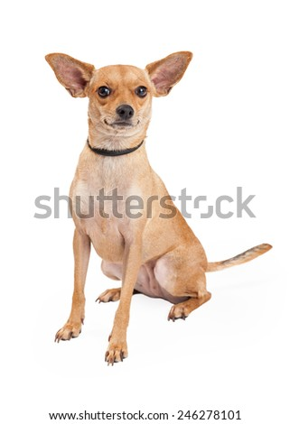 An attentive Chihuahua Mixed Breed Dog sitting while looking into the camera.  - stock photo