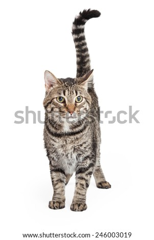 An attentive Domestic Shorthair Tabby Cat standing while looking forward. - stock photo