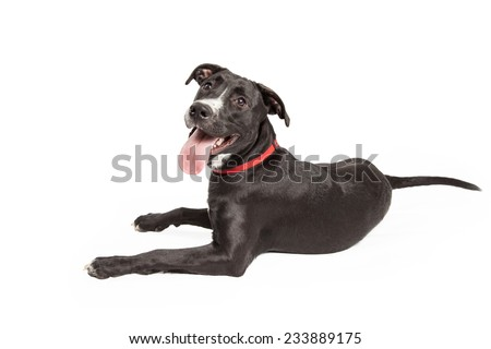 An attentive Labrador Retriever Mix Breed Dog laying with its back to the camera.  Dog is looking into the camera.   - stock photo