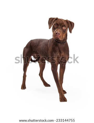 An attentive Labrador Retriever Mixed Breed Dog standing at an angle looking off to the side.