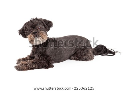 An attentive Mixed Breed Small Dog laying at an angle while looking directly into the camera.  - stock photo