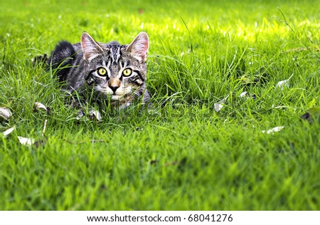 an attractive young kitten hunting in the grass - stock photo