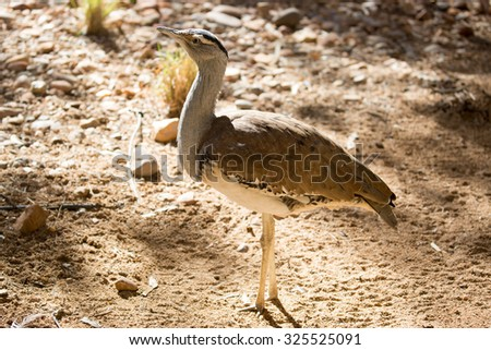 An Australian Bustard, or Bush Turkey, spotted near Alice Springs in the Northern Territory, Australia